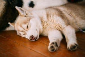 Siberian Husky Sleeping