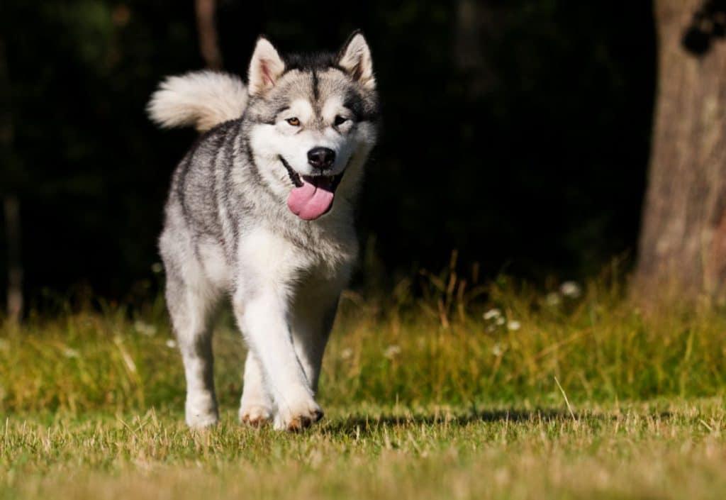 Siberian husky walking
