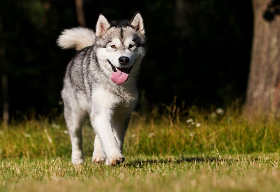 Siberian husky walking