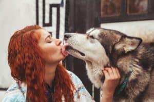 Licking husky