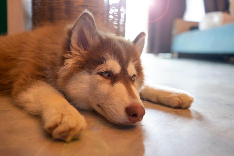 Siberian Husky laying down