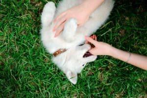 Husky biting hands
