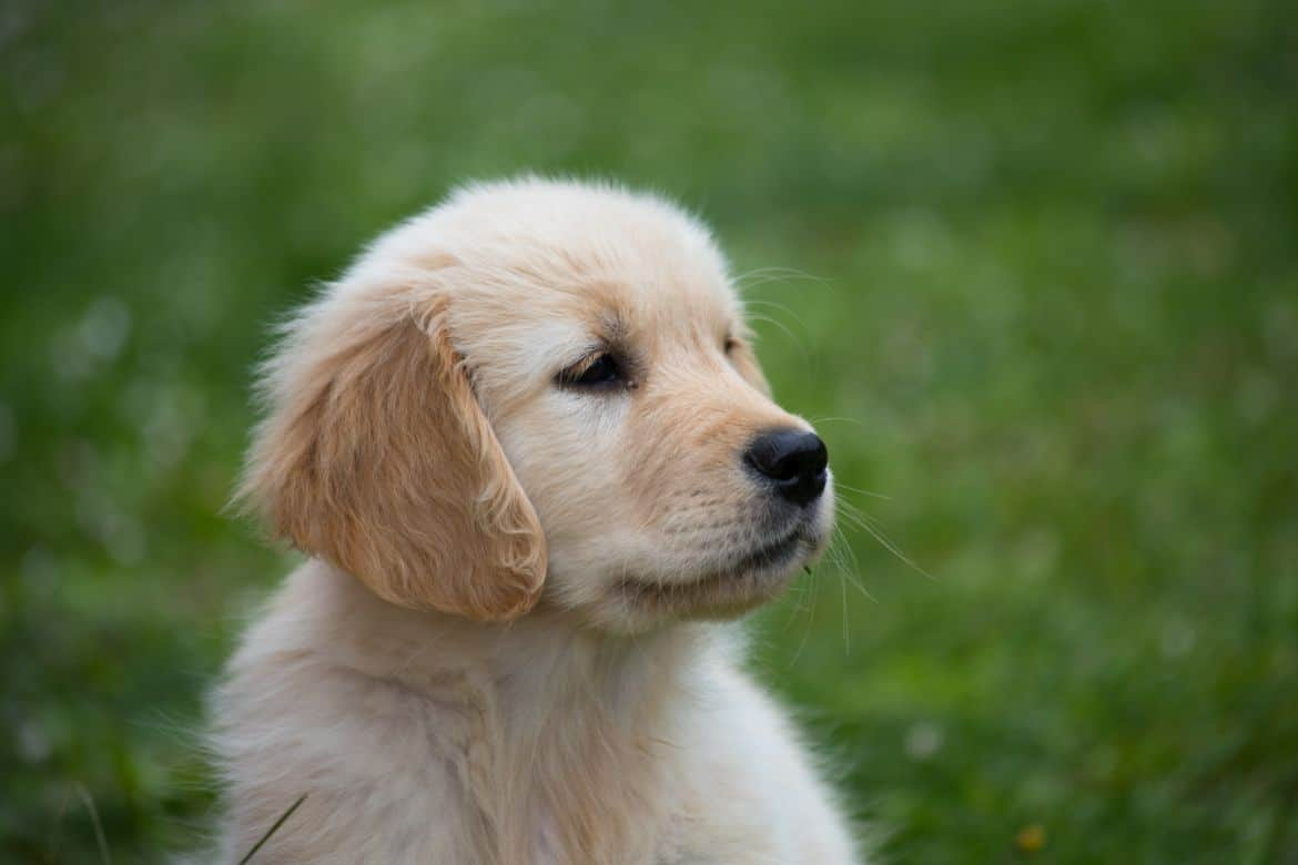 Why Does My Golden Retriever Puppy Nip Or Bite At Me
