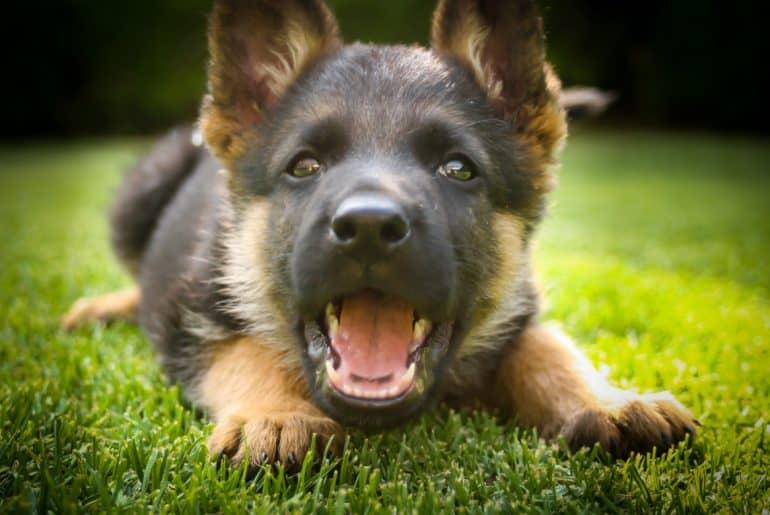 Puppy Barking
