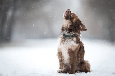 Chihuahua dog howling a winters day
