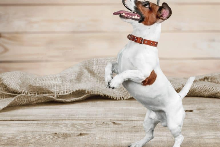 Cute small dog Jack Russell terrier on white background