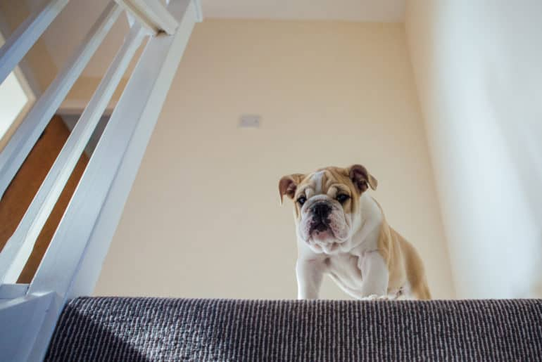 Puppy Bulldog tackles the stairs