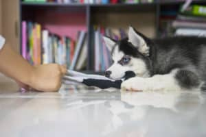 Husky puppy playing a sock