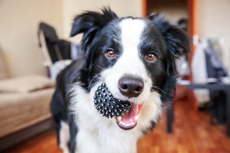 Funny portrait of cute smilling puppy dog border collie holding toy ball
