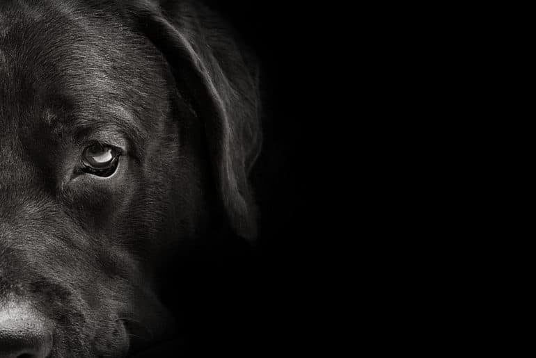 dark muzzle labrador dog closeup