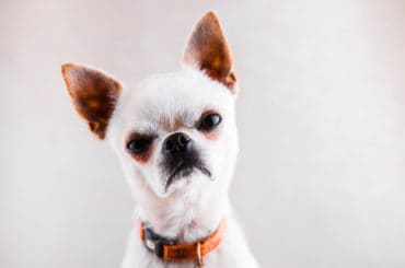 Evil Chihuahua on a light gray background looks into the camera with a displeased expression of the muzzle.
