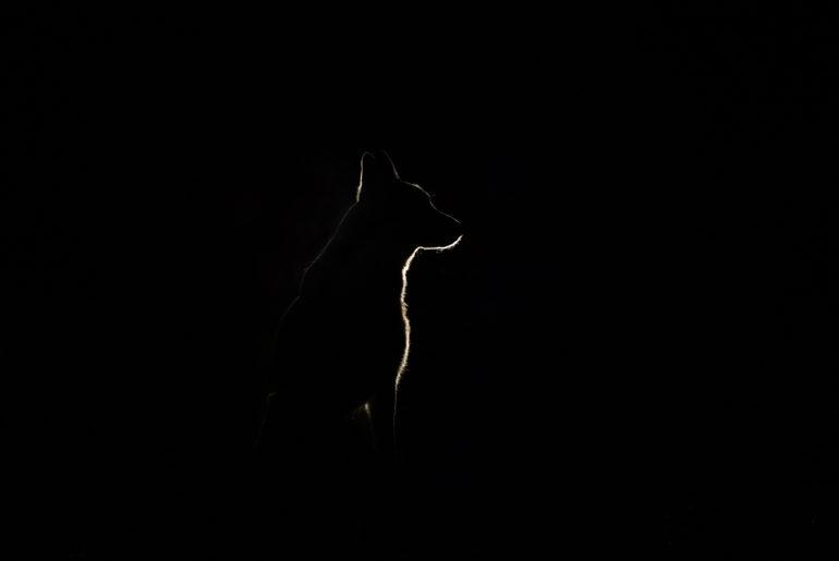 White Swiss shepherd dog silhouette at night