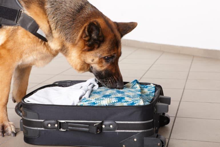 Sniffing dog checking luggage