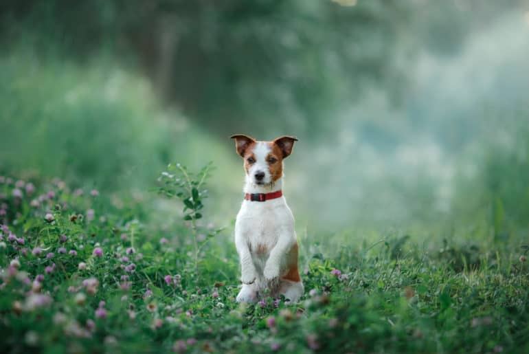 dog walks on nature, greens, Jack Russell Terrier on the grass