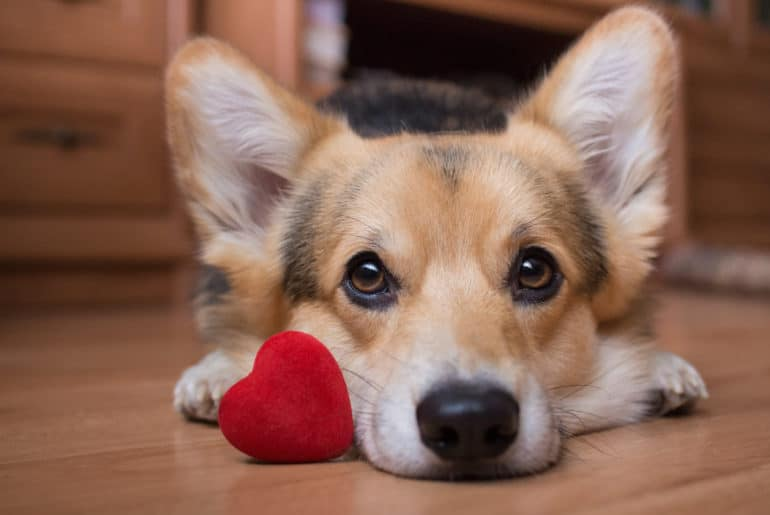 A dog with a red heart.