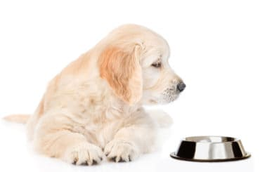 Golden retriever puppy looking at empty bowl. isolated on white background.
