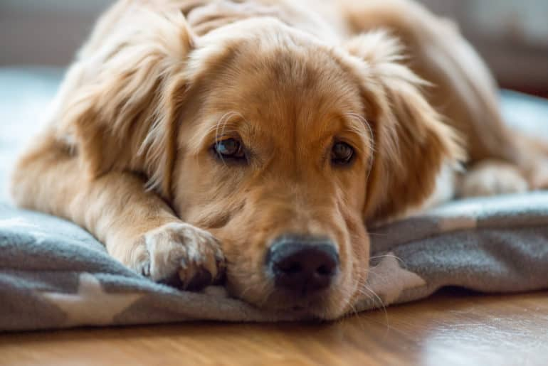 Portrait of a young and tired Golden Retriever boy, lying on a cozy blanket. Close up.