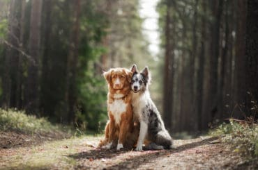 two dogs hugging. pet for a walk in the woods. Toller, Nova Scotia duck tolling Retriever and Border collie