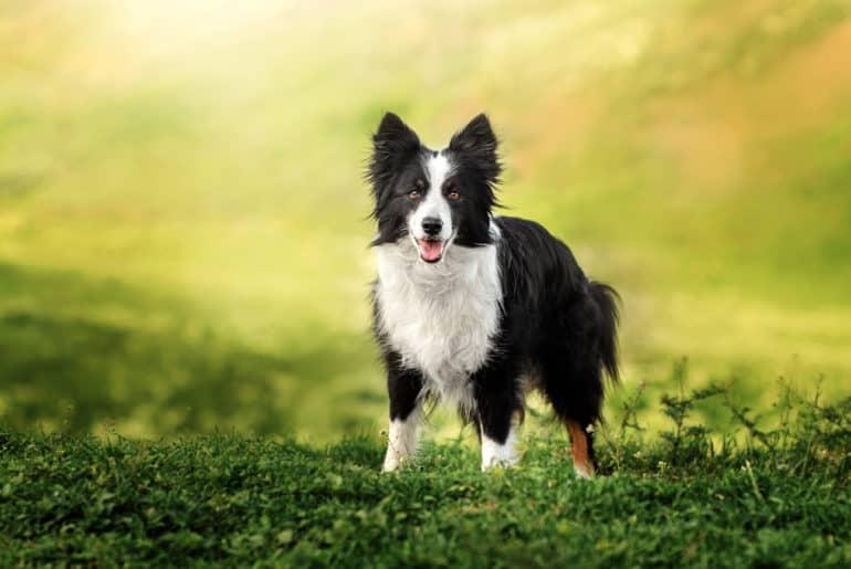 border collie dog spring portrait walking in green fields